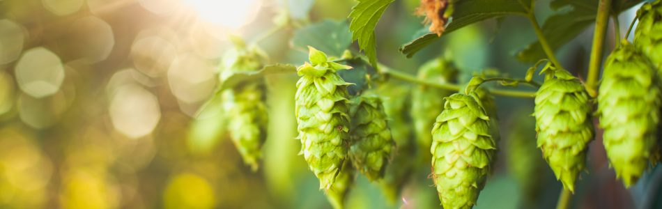 Coming up: Fresh Hop Ale Festival